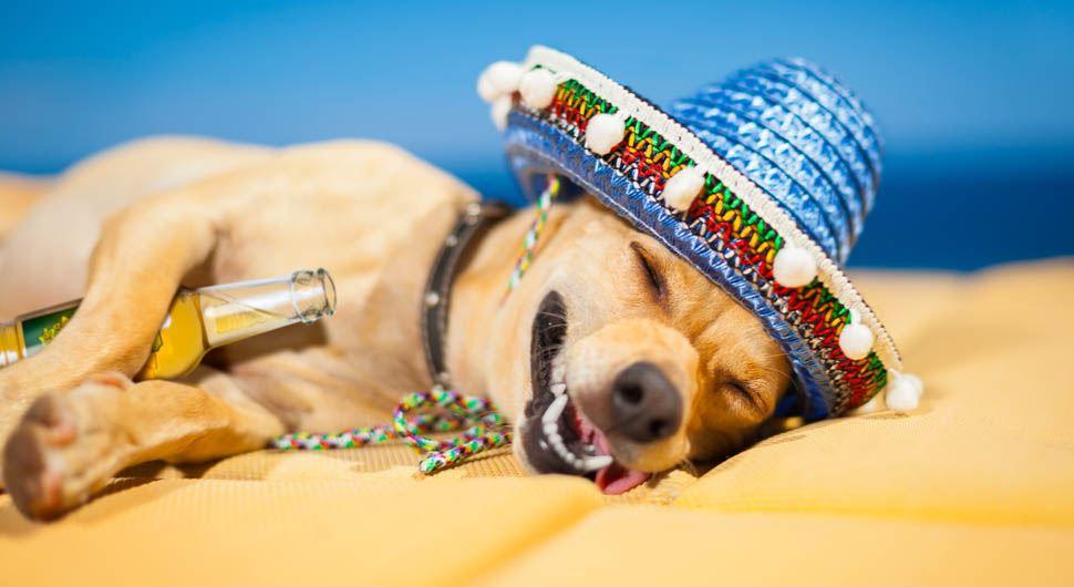 Cachorro com chapéu mexicano deitado, de olhos fechados e língua de fora com se estivesse de ressaca por bebida alcoolica,e  com uma garrafa de cerveja entre as patas
